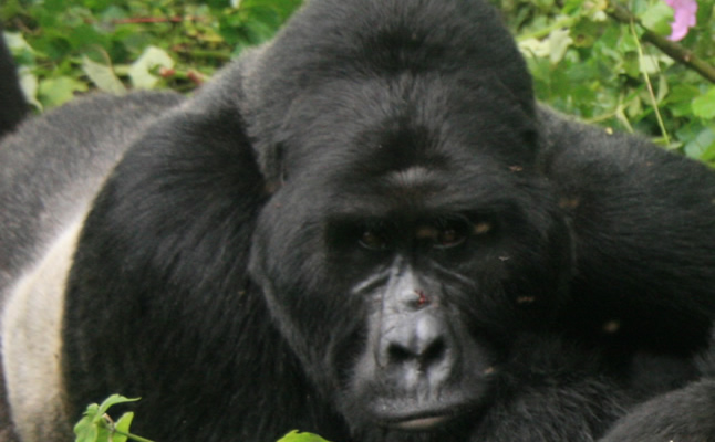 View Gorilla Tours in Uganda, Rwanda & Congo