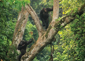 Uganda safaris in Kibale forest national park