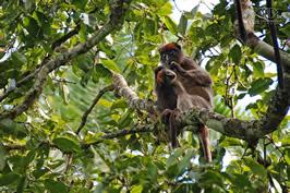 wildlife in Bigodi wetland