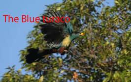 Blue turaco in bigodi