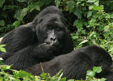 gorilla families in Bwindi forest