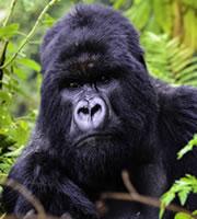 Bwindi Gorilla Uganda