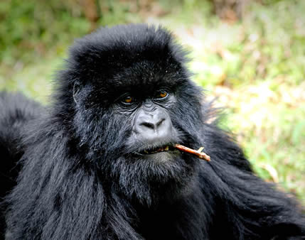 gorilla safaris in bwindi