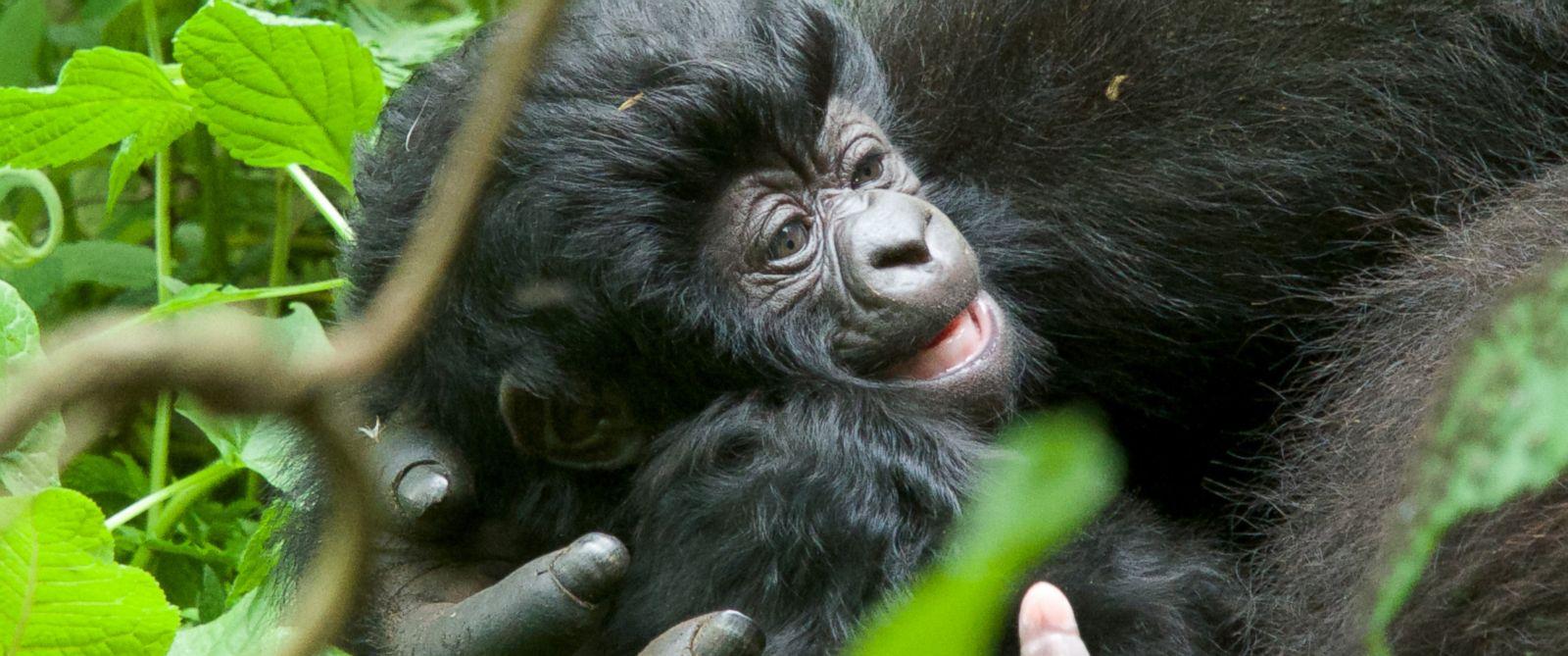 baby gorilla in volcanoes national park