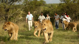 Re introduced Rwanda lions