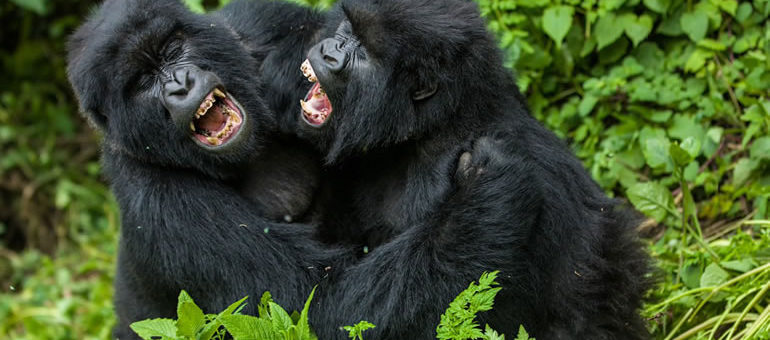 Image result for 9 Days The best of gorillas-Bwindi, wildlife – Murchison/ Queen, chimps -kibale.