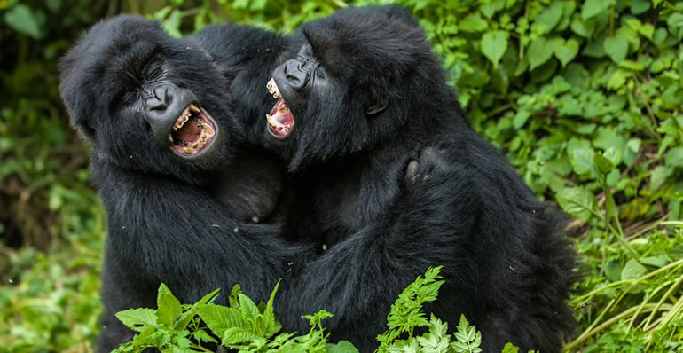 Guide to  Gorilla trekking in Uganda