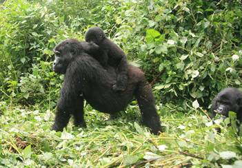 gorilla families in Bwindi forest