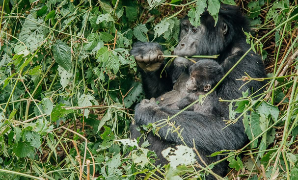 How is it Like to Trek Mountain Gorillas?