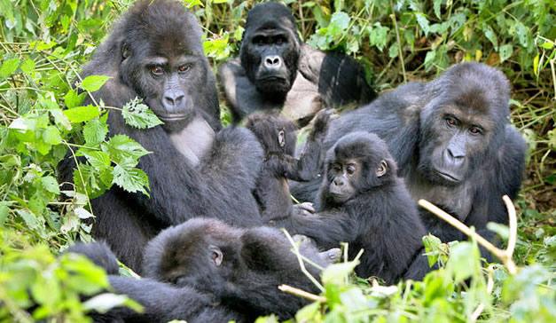 Uganda Gorilla Groups