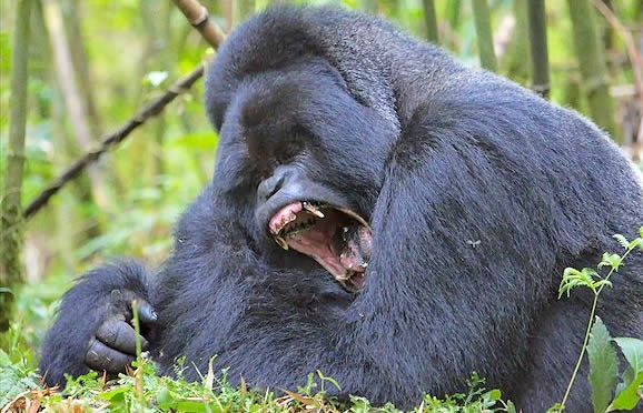 Uganda to Celebrate the Debut Gorilla Festival