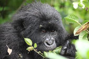 Uganda gorilla tours