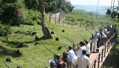 Chimpanzee Tours
