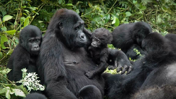 New Gorilla families in Bwindi forest national park