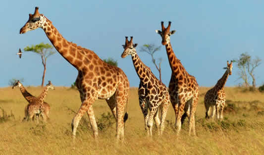 UWA Translocates 15 Giraffes from MFNP to Kidepo