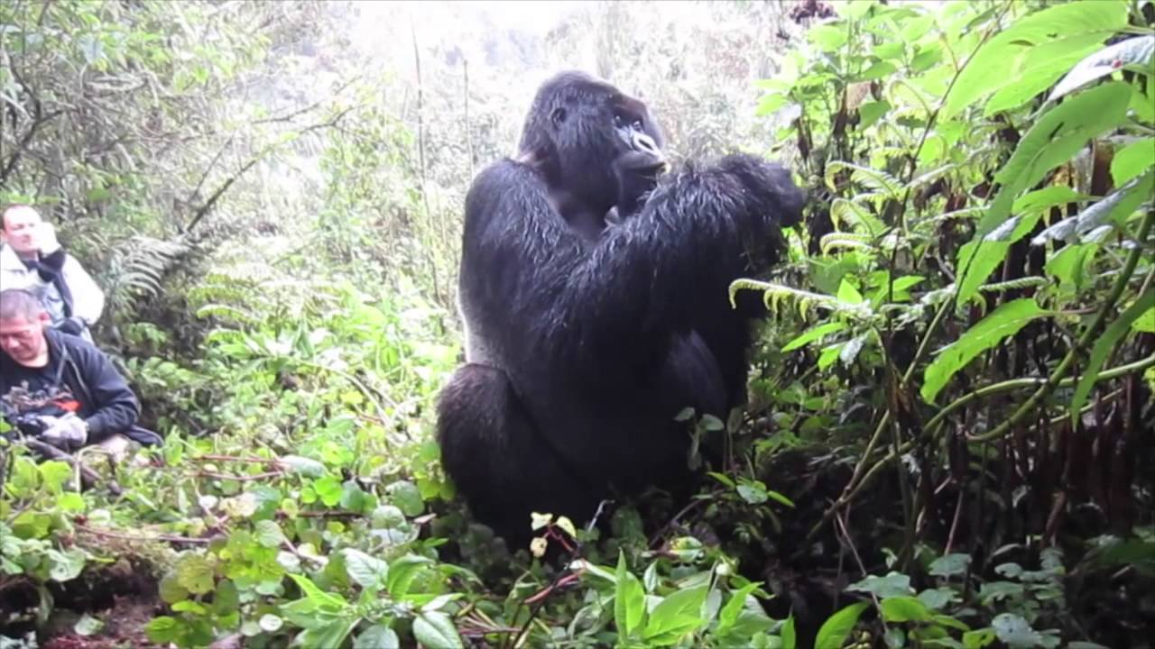 Tracking Mountain Gorillas in Uganda