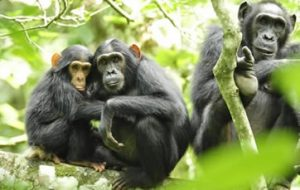 Chimpanzee tours in Uganda