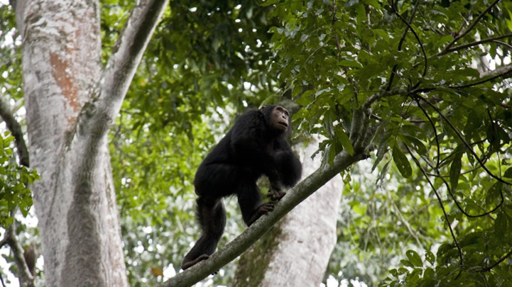 Chimpanzee Trekking In Kyambura Gorge