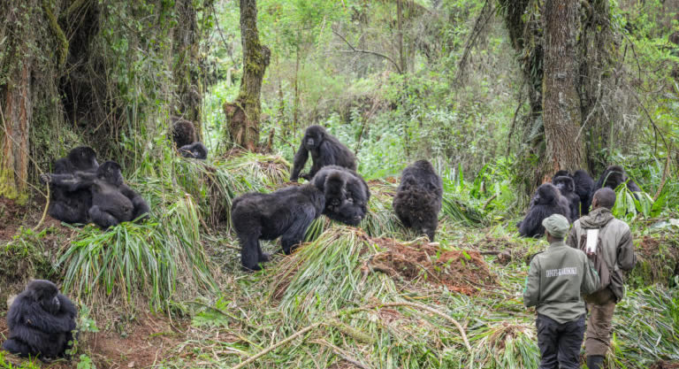 About Mountain Gorilla's Social Groups
