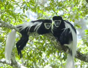 Monkey trekking in Uganda