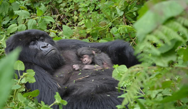 Oldest gorilla family in Bwindi gets newborn gorilla