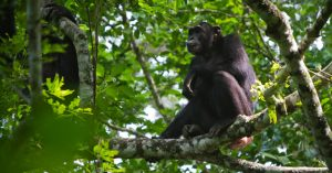 Uganda chimpanzee tours