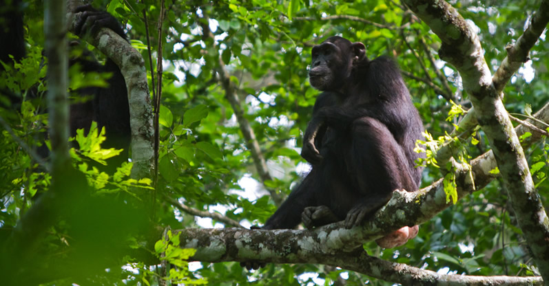 Chimpanzee Trekking In Budongo Forest