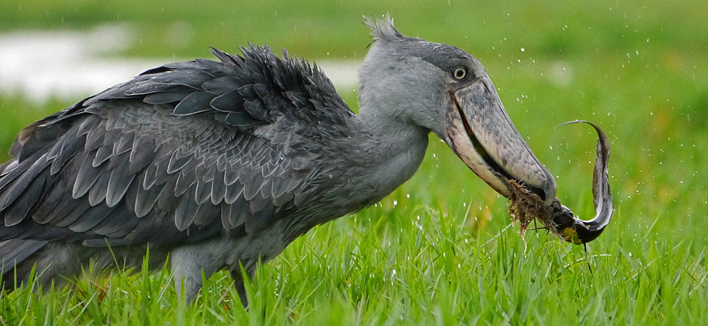 A Visit To See The Shoebill Stork In Uganda