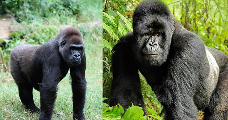 Comparing Mountain Gorillas & Eastern Lowland Gorillas