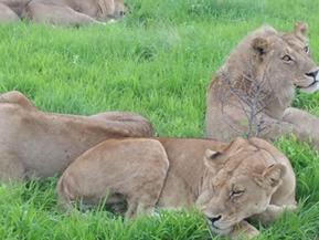 Rwanda gama safaris