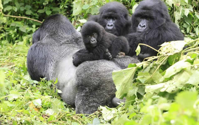 Answers to questions on rare facts about gorillas