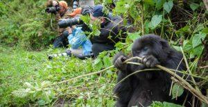 Why trek gorillas in Rwanda after Covid19