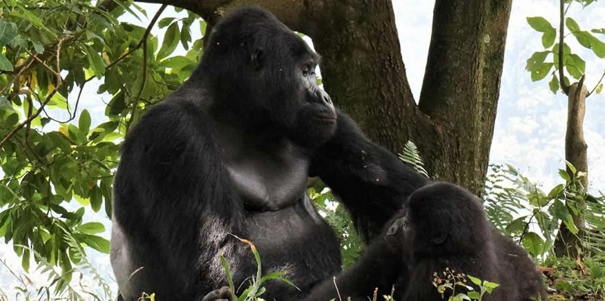 UWA Arrests Four Poachers Over Death of the Gorilla