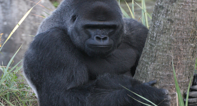 Understanding gorillas and how they live in their natural habitat