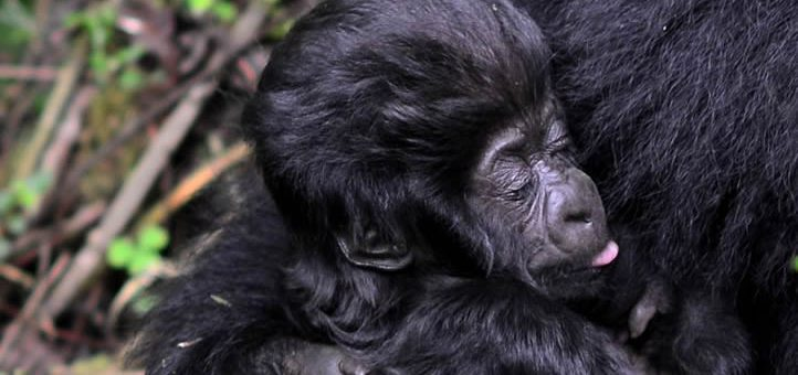 What are the biggest threats facing gorillas?