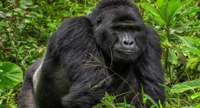 Poacher who killed a silverback gorilla jailed for 11 years