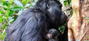 Nyakagyezi gorilla family