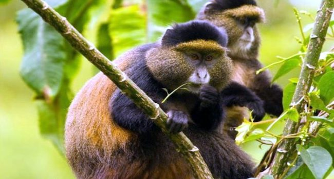 Meet Uganda's golden monkeys in Mgahinga Gorilla National Park