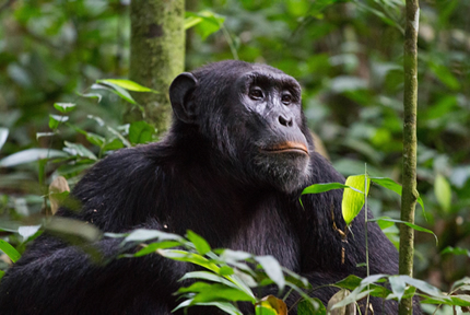 Uganda-primates-safari