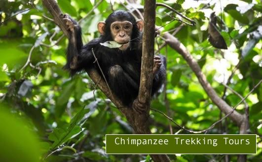 uganda-chimpanzee-tours